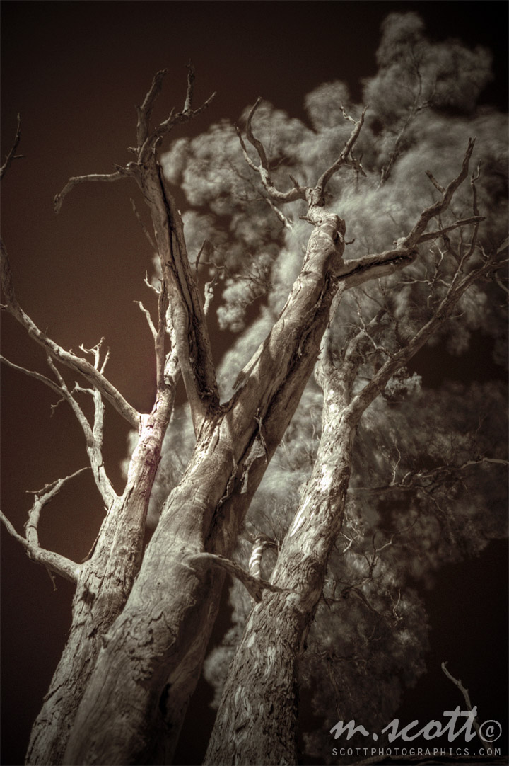 http://www.images.scottphotographics.com/post-processing-infrared-photographs-in-photoshop-gimp/gum-tree-victoria-bush-hdr.jpg