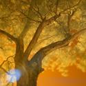 Infrared Gum Tree