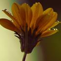 Flower – Water Droplets