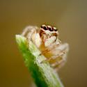 Jumping Spider – Macro