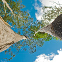 Looking Up – Gum Trees