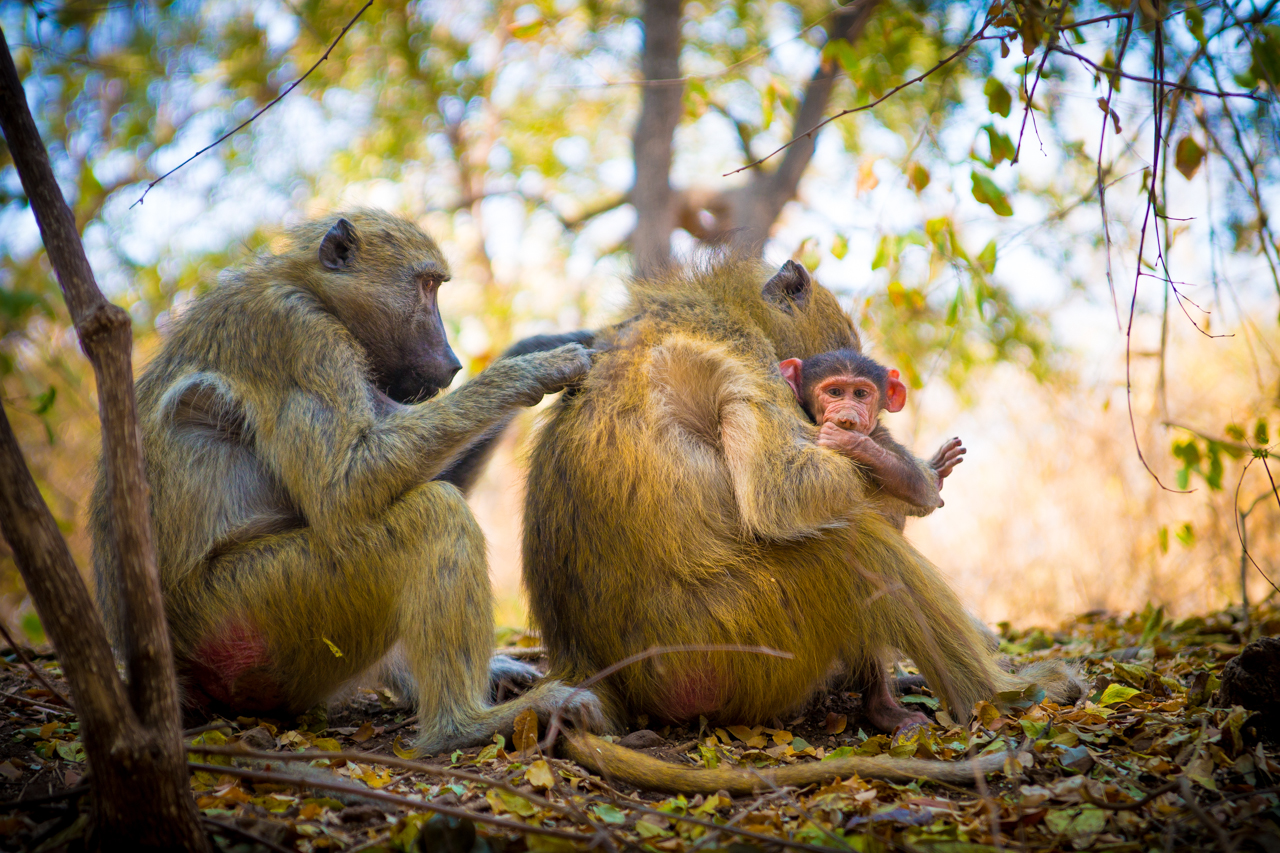Kinda Baboons, Livingstone, Zambia