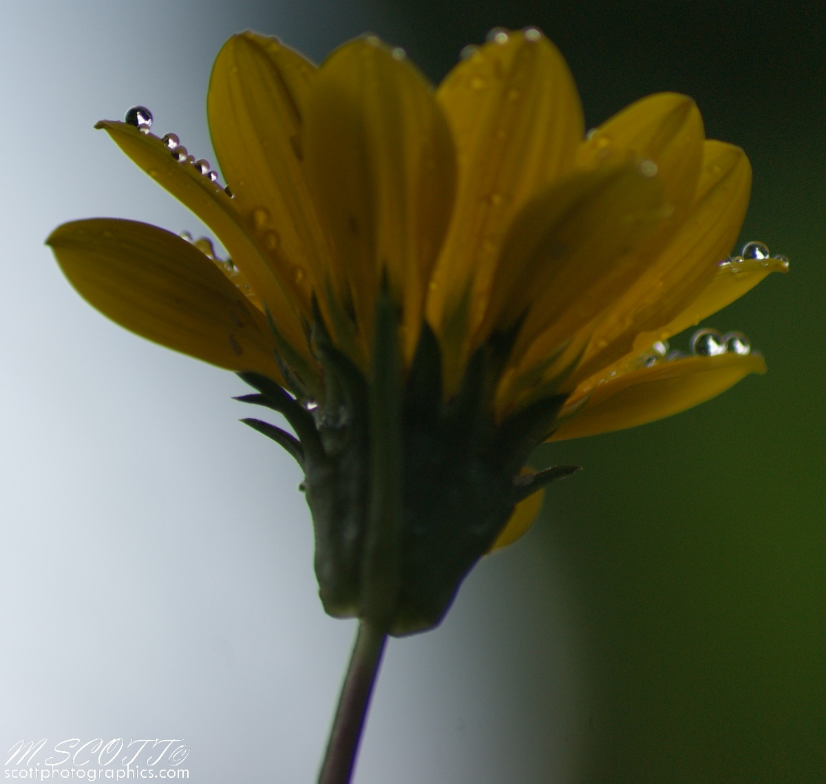 http://www.images.scottphotographics.com/using-water-droplets-to-impove-flower-photos/using-water-droplets-to-improve-flower-photos-4.jpg