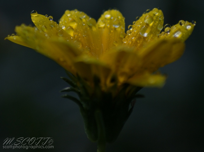 http://www.images.scottphotographics.com/using-water-droplets-to-impove-flower-photos/using-water-droplets-to-improve-flower-photos-5.jpg