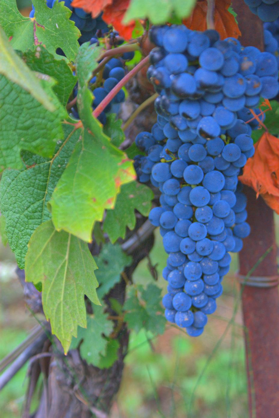 Grape Vine!