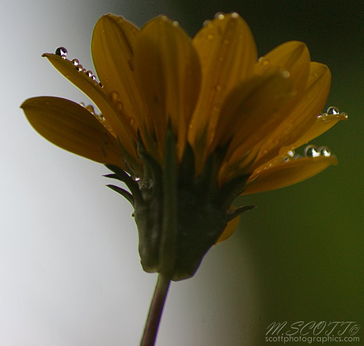 yellow-flower-water-droplets-1.jpg