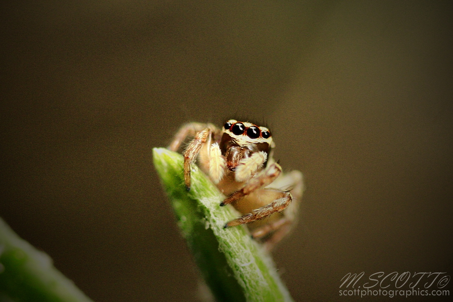 https://www.images.scottphotographics.com/shot-of-the-day/%2332/jumping-spider-macro-close-up-2.jpg