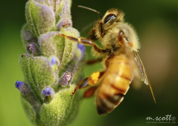 bee-macro-lavendar-flower