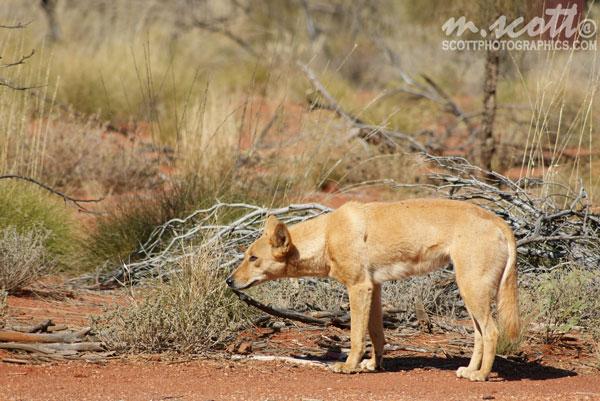Dingo having a browse