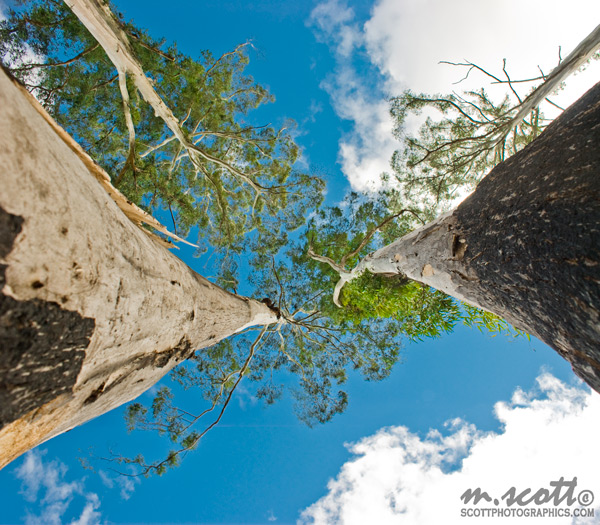 Looking Up at Gum Trees